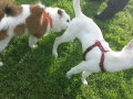 Elo und Weißer Schweizer Schäferhund