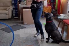 Labrador Lenny und Nina Ausbildung  in der Hundeschule Teamwork
