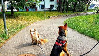 Ruhiges Abwarten der Hunde und entpanntes Zurück-Watscheln der Enten