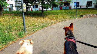 Border Collie Anton und Deutscher Schäferhund Rocky erspähen Enten